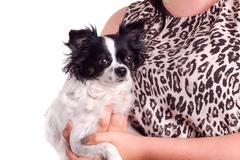 black and white accessories dog chihuahua with her owner - stock photo