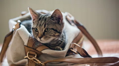 Funny kitten inside the woman brown bag Stock Footage