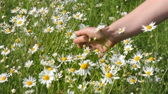 Female hand holds the daisies in the meadow. Stock Footage