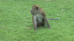 Long-tailed Macaque in the south of Bali, Indonesia - stock footage