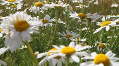 White Chamomile flowers in a meadow Stock Footage
