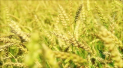 Field of ripe wheat on a sunny day. Stock Footage