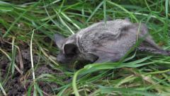 Bat in the grass Stock Footage