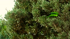 ULTRA HD 4K real time shot,The Monk Parakeet taken in Barcelona,Park Guell, - stock footage