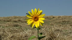 Sunflowers growing in wheat Stock Footage