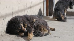 Himalayan dog sleeping in sun,Tabo,Spiti,India Stock Footage