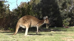 Kangaroo wallaby with baby joey in pouch on alert in park, Australia Stock Footage