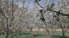 Apple tree branch in orchard,Tabo,Spiti,India Stock Footage