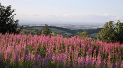 Pink flowers English countryside Quantock Hills Somerset England UK Stock Footage