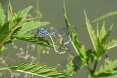 Mating dragonflies sitting in the grass near a pond Stock Photos