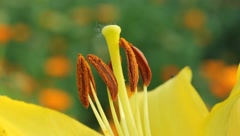 Stamens and pistil of lily Stock Footage