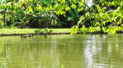 Ducks Swimming lake with lush green nature Stock Footage
