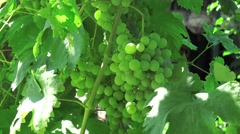 Green seedless grapes on the vine, 4k Stock Footage