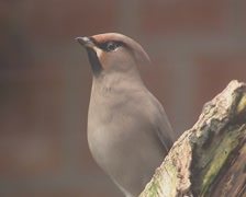 Bohemian waxwing perched on a log Stock Footage
