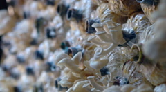 Agricultural mushroom cultivation, mushrooms grown on the farm Stock Footage