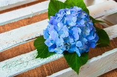 Fresh blue hydrangea flower Stock Photos