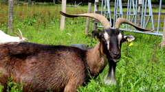 Goat with long horns eating Stock Footage