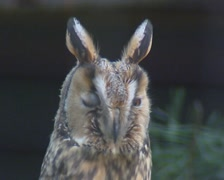 Stock Video Footage of long-eared owl roosting - close up