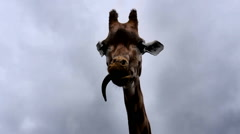 Giraffe Pulling Faces Stock Footage