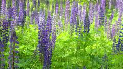 Closeup of blue salvia flower in field Stock Footage