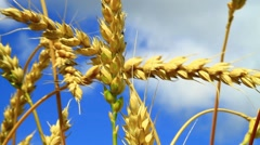Stock Video Footage of Close up of ripe wheat in field on a sunny day