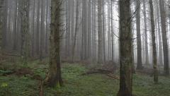 Old Pine forest in the mist Stock Footage
