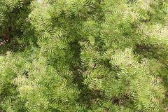 Neem tree (azadirachta indica) - top view - stock photo
