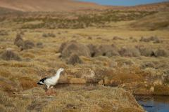 Andean Goose on the Altiplano - stock photo