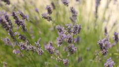 Lavender field at sunset Stock Footage