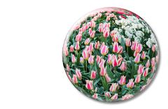 Glass sphere with red white tulips on white background - stock photo
