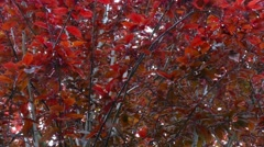 Red Tree Stock Footage
