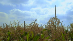 Corn plants waving in the wind - more windy - stock footage