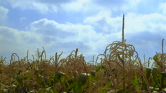 Corn plants waving in the wind - stock footage