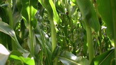 Man in a white shirt walking through a corn field Stock Footage
