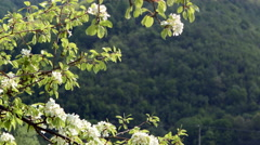 Nature composition. Apple flowers on a high mountain background Stock Footage