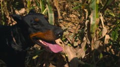 Doberman dog standing in a cornfield Stock Footage