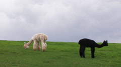 BLACK AND WHITE ALPACAS GRAZE IN GREEN PASTURE CLOUDY Stock Footage