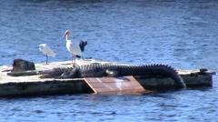 Birds and Alligator Sunbathing, Florida Stock Footage