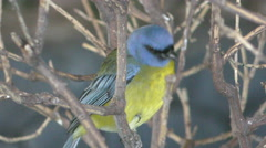 Blue and yellow tanager in 4K Stock Footage