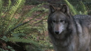 Stock Video Footage of Gray wolf close up right of frame