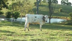Dairy cow walking across a field. - stock footage