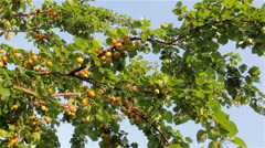 Harvest of ripe apricots Stock Footage