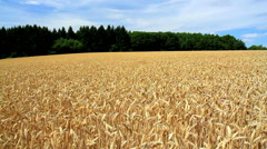 Ripe wheat in anticipation of the harvest - stock footage