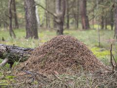 Red wood ant, anthill - Formica rufa Stock Photos