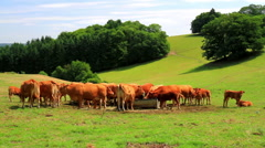 Cows on the field in the Belgian countryside. Stock Footage