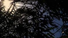 Sun peeks through the branches of a eucalyptus tree Stock Footage