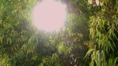 Sun peeks through the branches of a eucalyptus tree Stock Footage