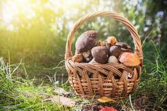 Harvest brown cap boletus in a basket Stock Photos