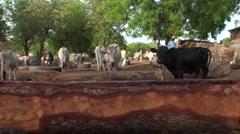 Breeders of cow in senegal Stock Footage