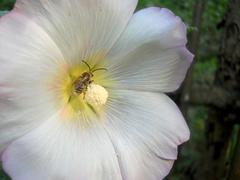 bee in hollyhock white flower - stock photo